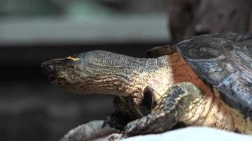 tartaruga ou tartaruga em cativeiro video