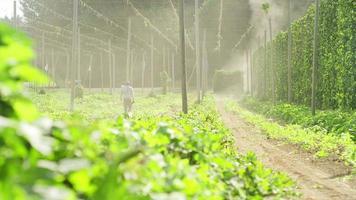 lavoratore che cammina in una fattoria di luppolo video
