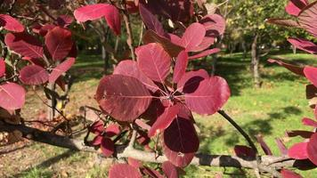 El follaje rojo de cotinus coggygria se balancea en el viento