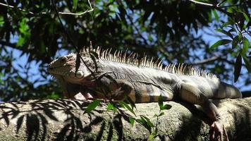 wild, wild lebende Tiere, Leguan, Reptilien, Tiere, Fauna, tropisch, Tropen,