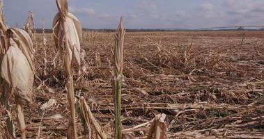 Panorámica del campo de maíz devastado por la sequía y el granizo