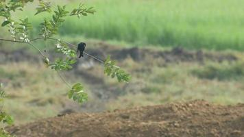 black drongo resting on the tree branch video