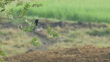 drongo negro descansando en la rama de un árbol video