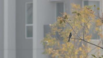 drongo nero che vola dal ramo di un albero