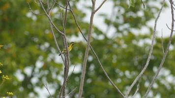 sunbird dal dorso d'oliva sta riposando e volando