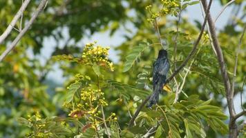 drongo nero che riposa sul ramo di un albero e vola via
