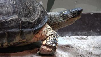 tartaruga o tartaruga in cattività video