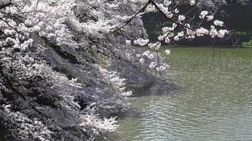 flores de cerezo, parque chidorigafuchi, tokio, japón.