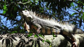 Wild, la fauna selvatica, iguana, rettili, animali, fauna tropicale, tropici, video