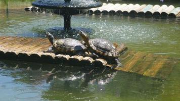 tartarughe dipinte che prendono il sole - chrysemys picta