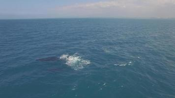 4k Luftdrohne Maui, Hawaii, Wale Baby Verletzung video