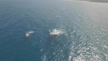 Drone aereo 4k maui, hawaii, balene baby breach video