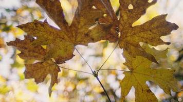 Vista desde abajo de las hojas de otoño en una rama, cámara lenta, con hermoso bokeh