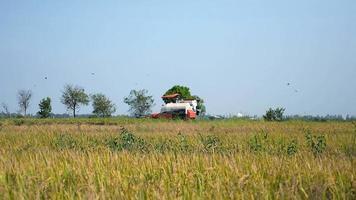 Kombinieren Sie die Ernte von Reiskulturen