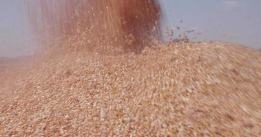 4K Close-up of harvested corn being transferred into grain trucks