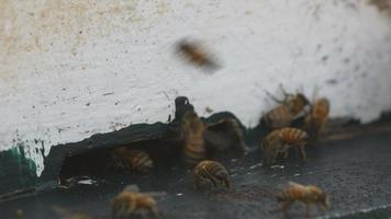 honingbijen die in en uit de korf bewegen