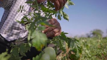 11-Man Farming Tomatoes Looks For Bugs On Leaves