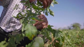 11-Mann-Zuchttomaten suchen nach Insekten auf Blättern