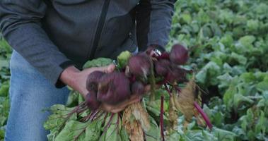 Agronomo / agricoltore 4k che ispeziona le barbabietole per rilevare segni di malattie e carenze nutrizionali
