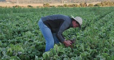 4k agrônomo / fazendeiro inspecionando beterrabas em busca de sinais de doenças e deficiências nutricionais