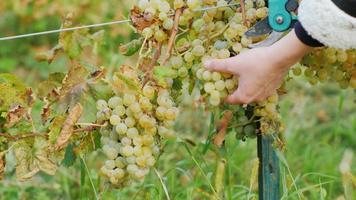 weiße Trauben mit einer Schere geschnitten. Arbeit im Weinberg