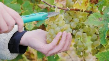 Hände mit einer Schere schneiden ein Bündel weißer Trauben. Arbeit im Weinberg video