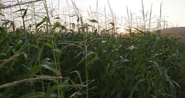 4k movimiento tiro a través del campo de maíz con amanecer en el fondo video