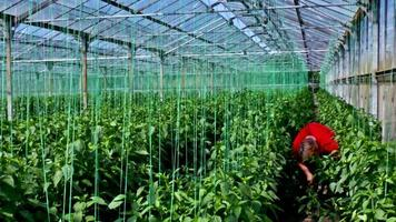Organic production of vegetables in greenhouse video