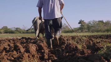 2-Mann-Bauer, der mit Ochsen den Boden pflügt video