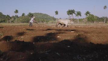 Coltivatore di 4 uomini che lavora sodo arando il terreno con il bue