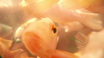 un sacco di pesci rossi per il peeling della pelle in una piscina speciale sul fiume video