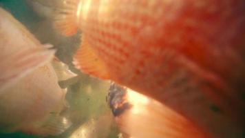 Un montón de pescado rojo para pelar la piel en una piscina especial en el río.