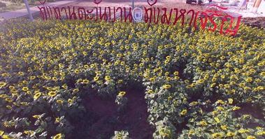 4k Feld blühender Sonnenblumen