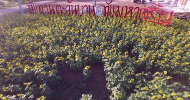 4K Field of blooming sunflowers video