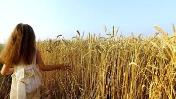 une petite fille se déplace le long des champs de blé. la main de la fille touche les épillets de blé. le blé est devenu jaune.