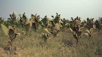 piante di tabacco in terreno polveroso e asciutto