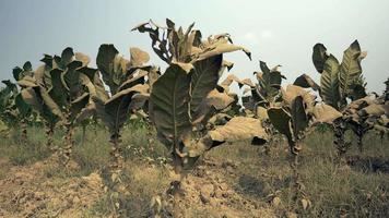 primo piano delle piante di tabacco in un terreno asciutto polveroso