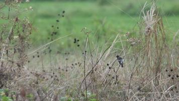 Pied bush chat bird limpiando su ala