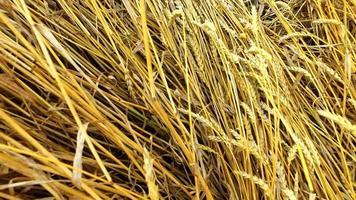bambina si siede su una zazzera di paglia in un campo di grano. il grano è diventato giallo. presto inizierà la raccolta.