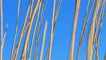 junco movendo o vento da primavera video