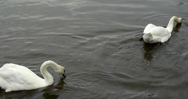 cygnes se déplaçant au-dessus de l'eau avec des oiseaux qui volent