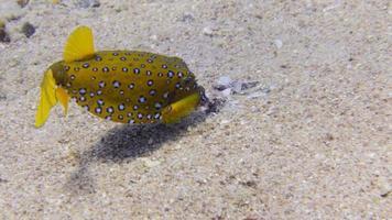 boxfish manchado amarelo