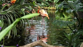 Two flamingos wading water