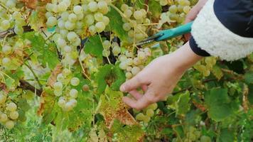 weibliche Hände schneiden Trauben. reife weiße Trauben im Weinberg um See Ontario video