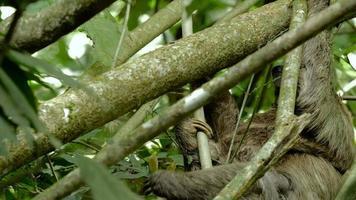 a preguiça de três dedos feminina sobe na árvore com o bebê 1