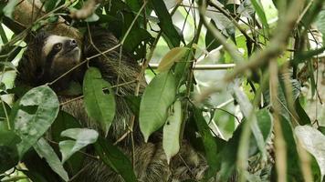 a preguiça de três dedos feminina sobe na árvore com o bebê 6 video