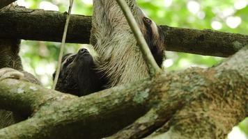 a preguiça-de-três-dedos fêmea sobe na árvore com o bebê 7 video