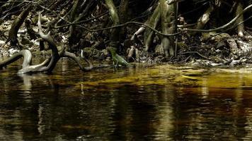 weiblicher smaragdgrüner Basilisk sitzt im Gezeitenfluss 2