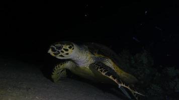 tartaruga verde video