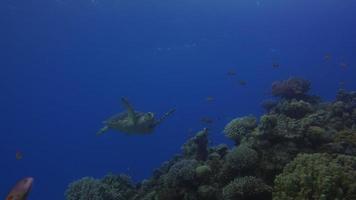 tartaruga marinha video